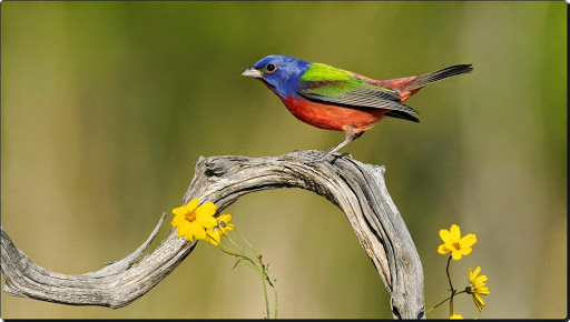 Painted Bunting, Texas.jpg