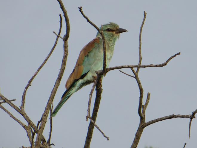 scharrelaar, Kruger Park - Zuid Afrika