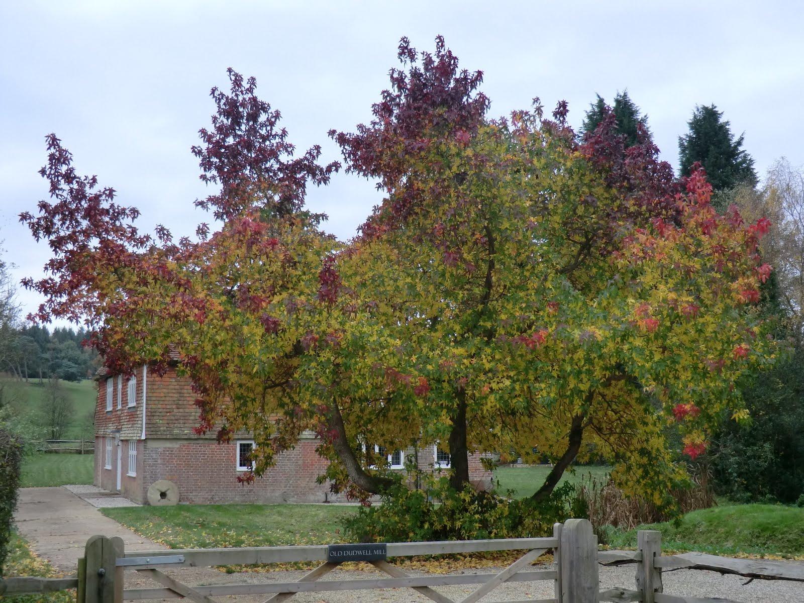 CIMG0240 Liquidambar tree at Old Dudwell Mill