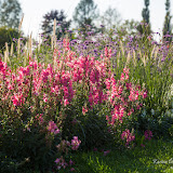Клумюы Саласпилского ботанического сада