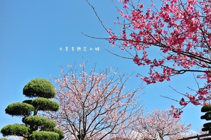 9 平菁街42巷櫻花
