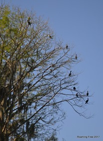 Anhingas in another tree