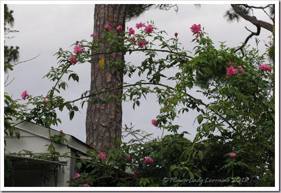 05-17-back-roses2