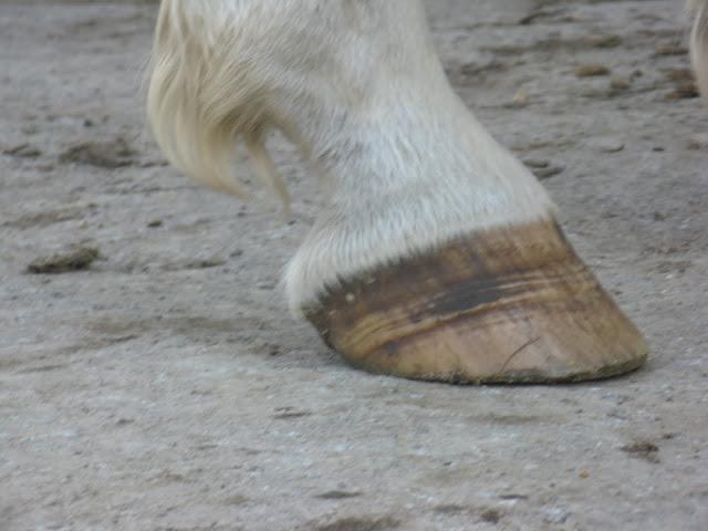 Besoin d'avis et conseils sur les pieds de mon cheval IMG_2156