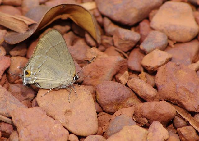 Ziegleria hesperitis (BUTLER & H. DRUCE, 1872). Corrèze (RN2, PK 63), 27 octobre 2012. Photo : J.-M. Gayman