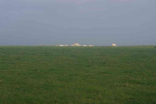Vaches à l'horizon.