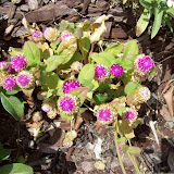 Gardening 2009 - 101_5081.JPG