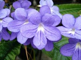 Kwiat skrętnika Streptocarpus x hybridus