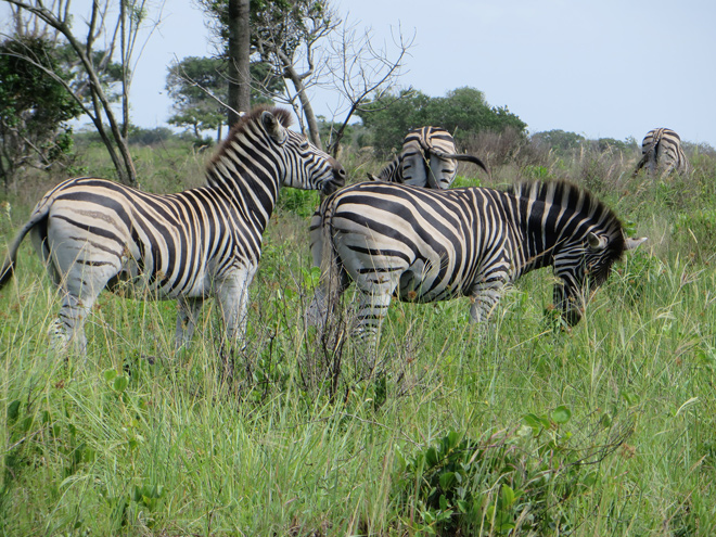 Zebra's, iSimangaliso Wetland Park, Zuid Afrika