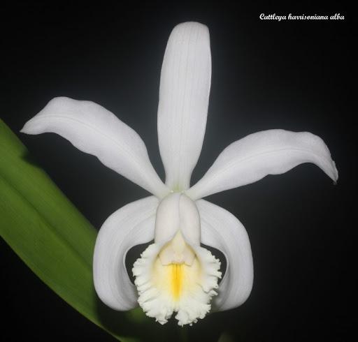 Cattleya harrisoniana alba IMG_6080b%2520%2528Medium%2529