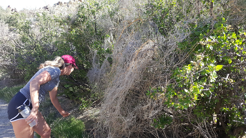 Mary rescuing desert plants during our Hornblende Canyon hike - Anza Borrego