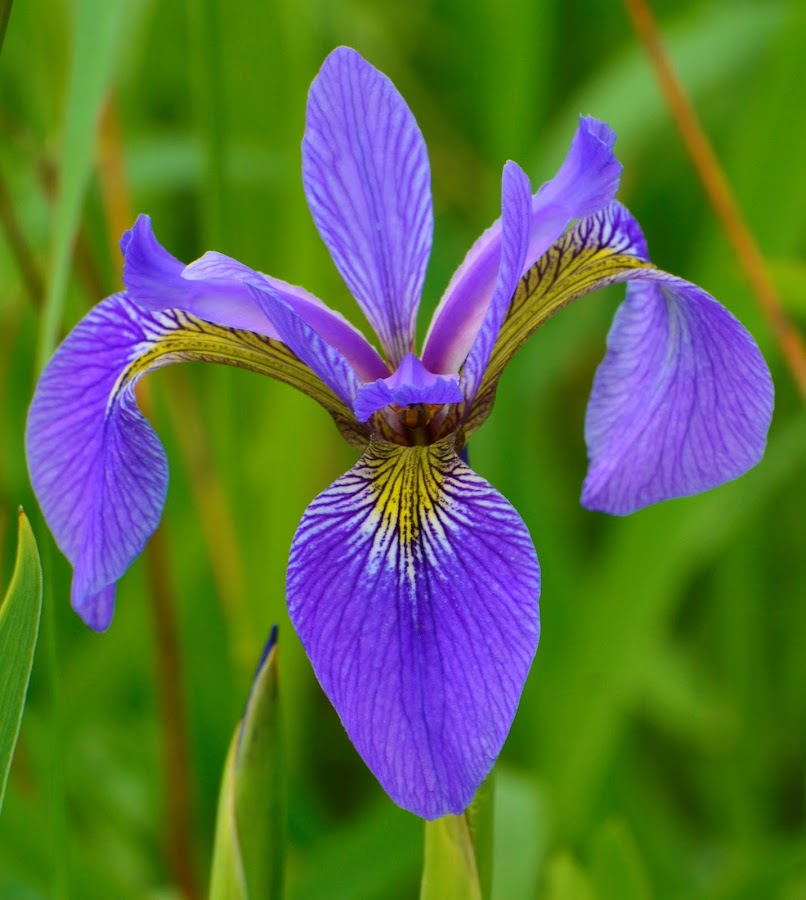 Je me souviens by Mario Monast - Flowers Flowers in the Wild ( quebec, single flower, colors, flowers in the wild, flowers, purple flower )