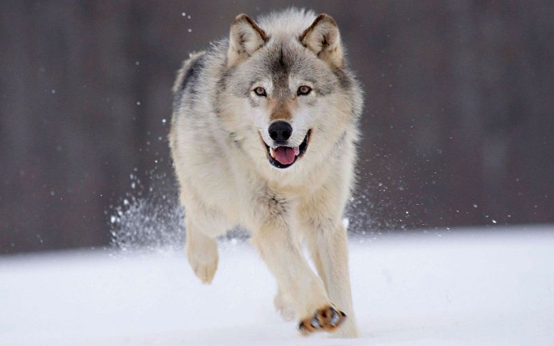 chó Alaska đẹp
