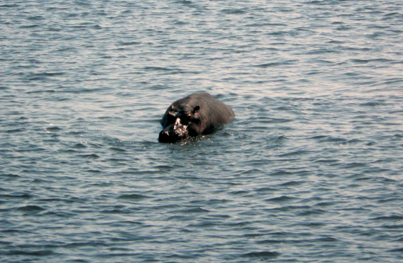 A hippo on the Chobe River