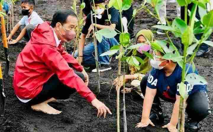 Setelah Tiba di Bengkalis Presiden Jokowi Tanam Mangrove di Pantai Raja Kecik