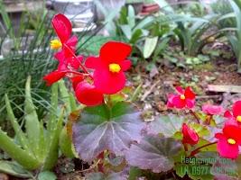 Kỹ thuật chăm sóc hoa thu hải đường