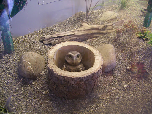 Burrowed owl at the National Aviary