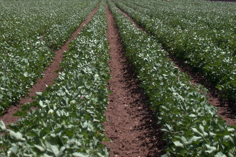 Cotton Farmers Ask for Emergency Insecticide Exemption