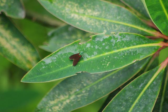 Erebinae : Arctiinae : Ctenuchini : Cyanopepla fulgens HERRICH-SCHÄFFER, 1854. La Merced de Buenos Aires, 2000 m (Imbabura, Équateur), 24 novembre 2013. Photo : J-M. Gayman