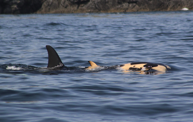An orca whale known to researchers as J35 or Tahlequah–that is a member of the critically endangered Southern Resident pod found in the Salish Sea–gave birth to a calf on 24 July 2018, but it only lived for half an hour. The female then proceeded to push the dead calf for days, accompanied in grief by other orcas in the clan. Photo: Taylor Shedd / Soundwatch