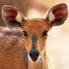 Bushbuck Doe, South Africa