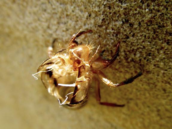 Shed cicada sheath