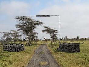 Photo: Giraffe