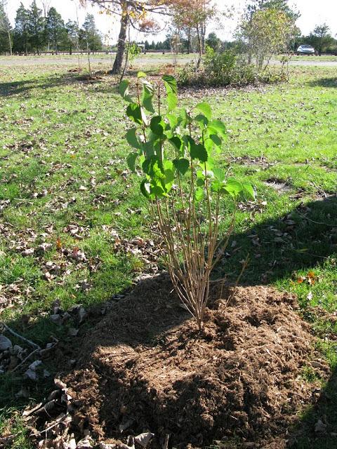 Hammo Planting - Shannon Schiesser - IMG_4968.JPG