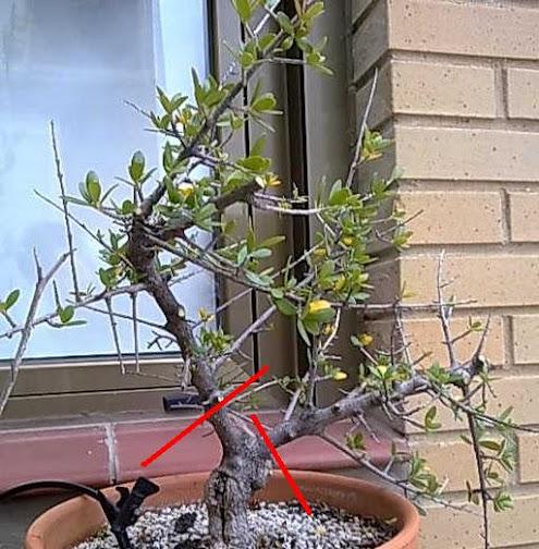 Meter mano a un olivo silvestre 2013-03-00+ACEBUCHE