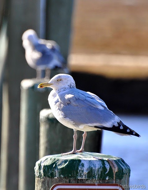 4. herring gull-kab