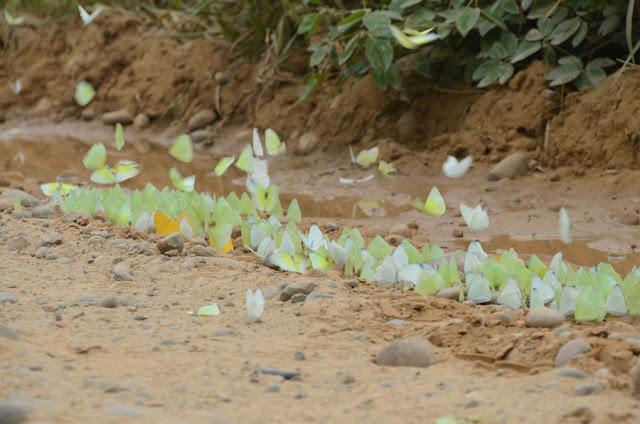 Pieridae : Phoebis sennae marcellina (CRAMER, 1777), Aphrissa statira (CRAMER, 1777), Ascia monuste orseis (GODART, 1819) et Rhabdodryas trite (L., 1758). Piste de Rurrenabaque à Reyes (El Beni, Bolivie), 22 octobre 2012. Photo : C. Basset