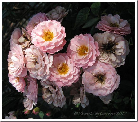 04-03-new-rose2