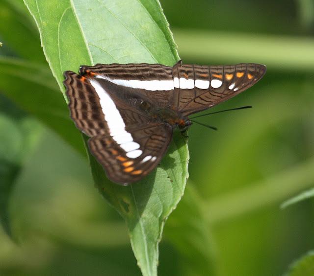 Limenitidinae : Adelpha alala HEWITSON, 1847. Route de Manu (Madre de Dios), Pantiacolla Lodge, 10 décembre 2008. Photo : Benoit Nabholz