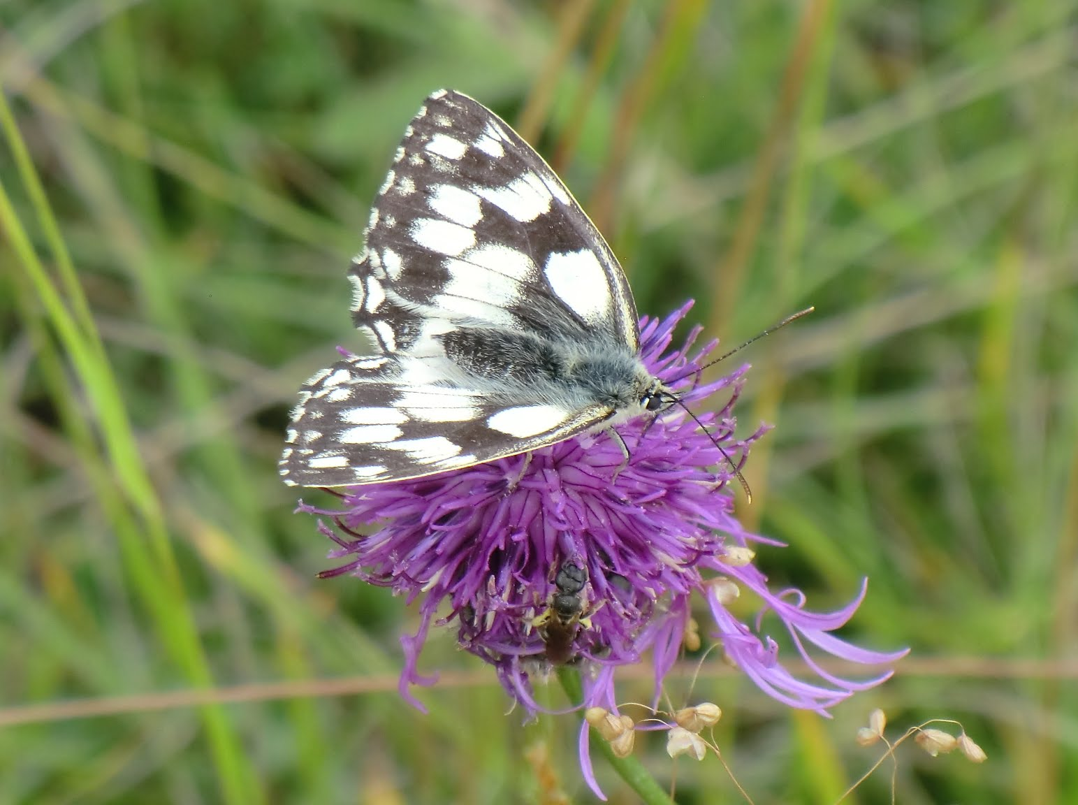 CIMG2595 Marbled white butterfly on knapweed