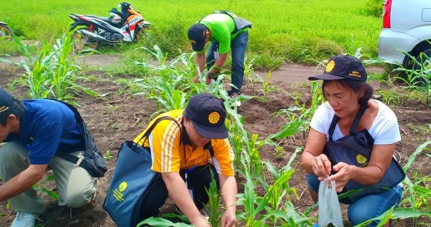 Tingkatkan Produksi Lebih dan Kendali Hama, BBPP Batangkaluku Gelar Pelatihan Tematik Jagung di Minsel
