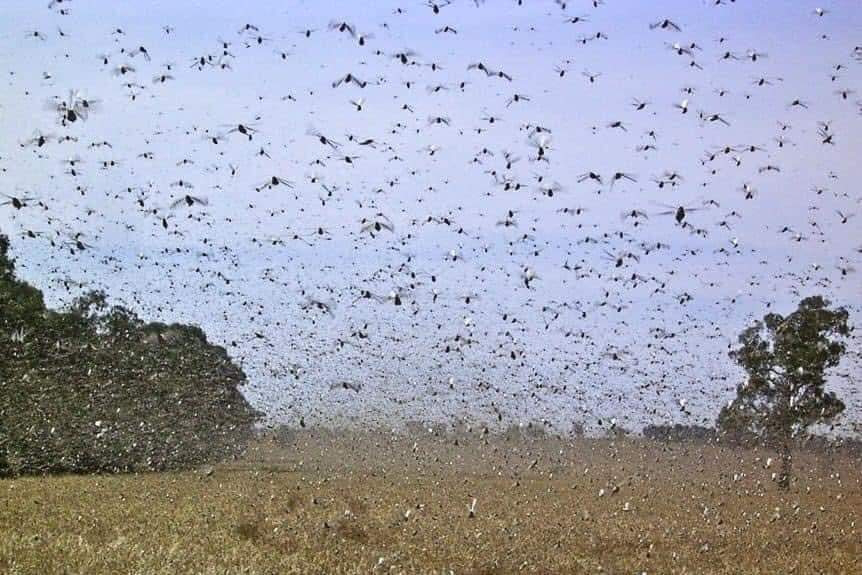 Locust attack in Nepal and how to prevent it?