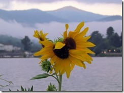 Sunflower on a cloudy morning