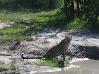 Leopard - Linyanti Concession (Chobe Region)