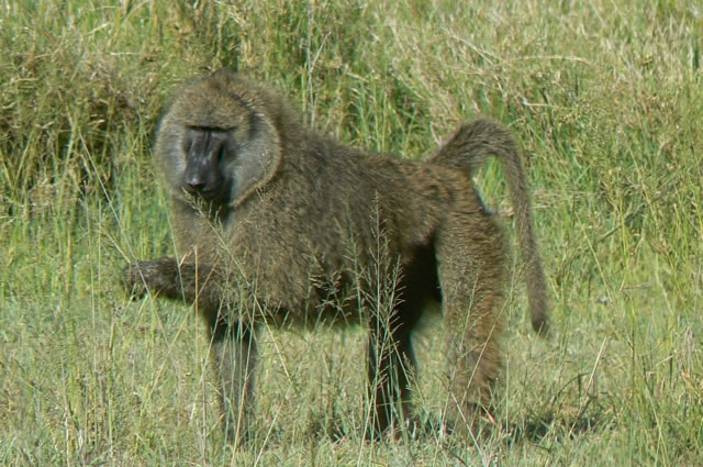 Serengeti National Park - monkey