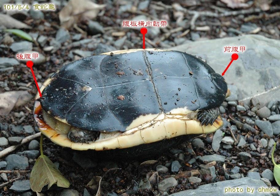 「食蛇龜」的圖片搜尋結果