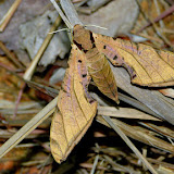 Sphingidae : Sphinginae : Protambulyx strigilis (Linnaeus, 1771), femelle. San Juan, près de Caranavi, 1000 m (Yungas, Bolivie), 23 décembre 2014. Photo : Jan-Flindt Christensen