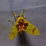 Arctiidae, Arctiinae : Amaxia pseudodyuna Rothschild, 1922. Santa María en Boyacá, 1120 m (Boyacá, Colombie), 2 novembre 2015. Photo : J.-M. Gayman
