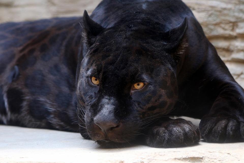 ¡Roban una Pantera Negra de un Zoológico!