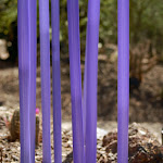 purple stalks.jpg