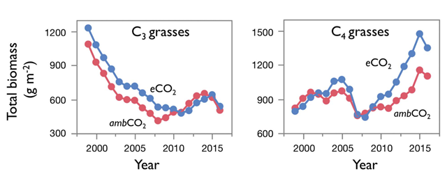 Biomass over time of C3 grasses and C4 grasses at ambient and elevated CO2. Total biomass (aboveground + 0 to 20 cm belowground) of plots comprising C3 grasses and C4 grasses in ambient CO2 (red) and elevated CO2 (blue) from 1998 to 2017. Data are shown as moving 3-year averages centered over the middle of each 3-year group. Each point represents data pooled across N treatments, and across monoculture and four-species plots (equally weighted), for each functional group (n= 22 plots for each functional group at each CO2 level). Graphic: Reich, et al., 2018 / Science