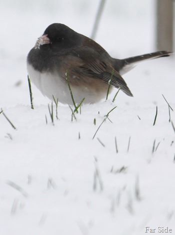 Fat bird in the snow