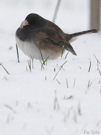 Fat bird in the snow