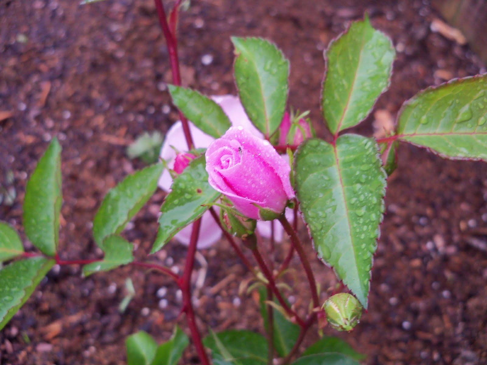 Gardening 2010 - 101_0515.JPG