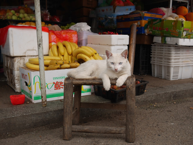 white cat on a wooden chair in Changsha, Hunan, China