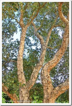 160321_SLOBG_0021_Quercus-suber